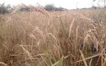 Petani Merugi : Padi milik petani di Pangkalan Bungur diserang burung pipit. Akibat serangan hama burung pipit, petani menderita kerugian hingga Rp5 juta per hektare.
