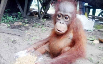 Orangutan yang diterima Balai TNTP SPTN Wilayah II Kuala Pembuang saat menikmati santapannya berupa nasi plus kecap.