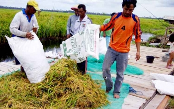 GABAH - Harga gabah yang ditetapkan Bulog sangat rendah, petani lokal memilih menjualnya kepada tengkulak.