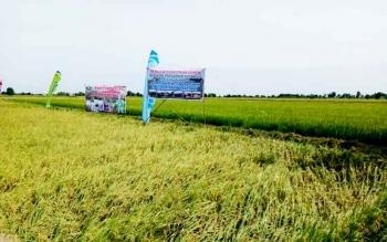 Areal sawah di Desa Jaya Makmur Kecamatan Katingan Kuala.