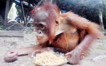 Seekor orangutan yang sempat diamankan pihak SPTN Wilayah II Kuala Pembuang yang suka makan nasi dan kecap, namun menolak makan buah-buahan.