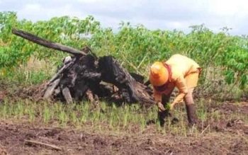 Petani di Kotawaringin Barat tengah menanam padi di ladangnya. Para petani padi di Kecamatan Arut Selatan mengeluh tidak bisa bercocok tanam tanpa membakar lahan.
