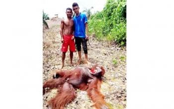Dua pekerja dan orangutan yang dibantai untuk dikonsumsi di areal perkebunan PT Susantri Permai Kecamatan Sei Hanyo, Kabupaten Kapuas.