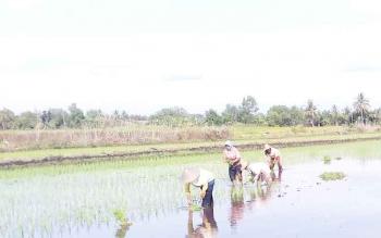 Petani di kecamatan Bataguh saat menanam padi.