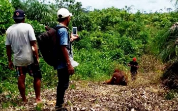 Detik-detik saat satu individu orangutan yang tak berdaya setelah dihujani peluru senapan angin sebelum menemui maut di Blok F12 PT Susantri Permai, 28 Januari 2017.