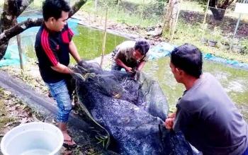 Warga Kelurahan Bereng Kecamatan Kahayan Hilir, Pulang Pisau saat panen ikan