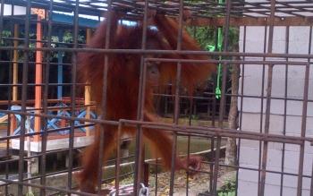 Si Bembem orangutan dievakuasi BKSDA Kalteng