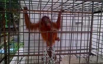 Orangutan dievakuasi BKSDA Kalteng dari warga Buntok.