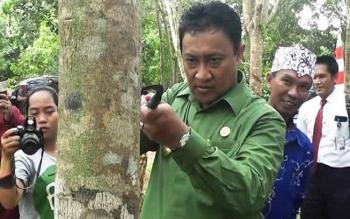 Bupati Pulang Pisau, Edy Pratowo saat menoreh karet di sela meninjau perkebunan karet milik masyarakat