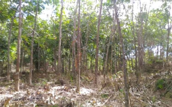 Kebun karet di Kuala Kurun, Kabupaten Gunung Mas, Kalimantan Tengah.