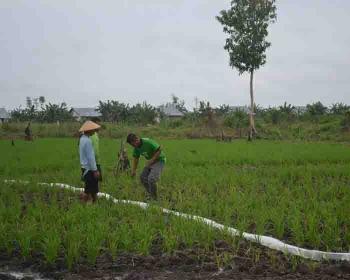 Petani Transmigrasi Desa Pulau Nibung, Kecamatan Jelai, Kabupateb Sukamara saat menanam padi.