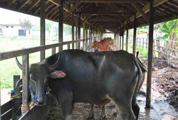 Peternakan sapi di Sampit, Kabupaten Kotim.