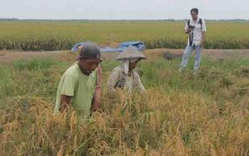 Petani padi di Kotim.