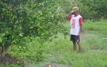 Warga Transmigrasi Desa Pulau Nibung, Kecamatan Jelai, Kabupaten Sukamara melihat kebun jeruknya.