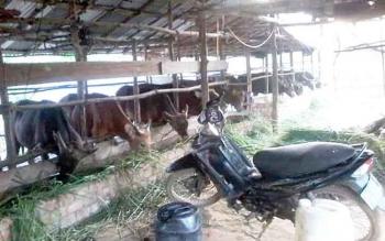 Peternakan sapi di Palangka Raya milik pelaku usaha.