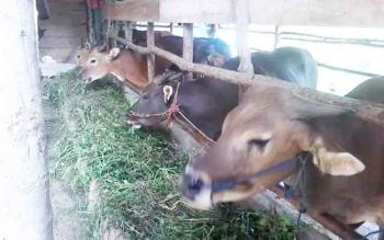 Salah satu peternakan sapi di Kalampangan, Kota Palangka Raya. Meski ada beberapa peternakan sapi di Palangka Raya namun belum mampu memenuhi kebutuhan penduduk.
