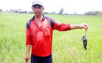 Petani padi di Beriut menunjukan hama tikus yang menyerang.