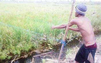 Petani Desa Persil Raya memburu gerombolan burung pipit yang mematuki padi di areal pertanian kawasan Mahang.
