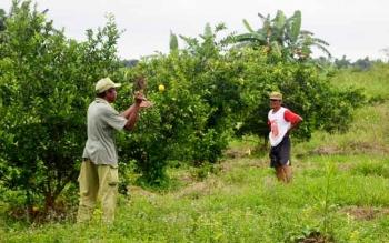 Warga Transmigrasi Desa Pulau Nibung Kecamatan Jelai Kabupaten Sukamara saat melihat hasil kebun jeruk yang mereka tanam.