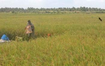 Petani tengah memanen padi mereka Desa Lempuyang, Kecamatan Teluk Sampit, beberapa waktu lalu.