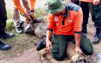 Sejumlah petugas BKSDA mengevakuasi buaya yang ditangkap warga, Selasa (28/2/2017).