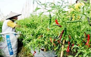 Petani di Kalimati Lama memanen cabai lebih awal karena mulai membusuk dan rontok.
