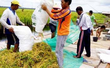 Sejumlah petani di Desa Sabuai Kecamatan Kumai tengah memanen hasil pertaniannya.