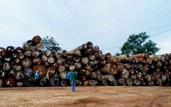 Tumpukan kayu log tampak menumpuk di base kamp PT Dwima Group di Desa Tumbang Manggu Kecamatan Sanaman Mantikei Kabupaten Katingan.