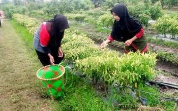 Dua warga memetik cabai di kebun. Dinas TPHP Kobar menyiapkan 60 hektare tanaman cabai dan bawang merah bagi petani.