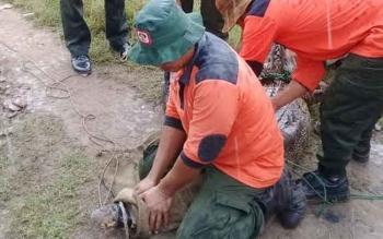 Petugas BKSDA Pos Sampit saat mengevakuasi buaya yang tersangkut di jaring nelayan Lempuyang, Kecamatan Teluk Sampit.