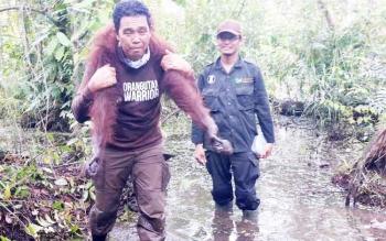 Tim Borneo Orangutan Survival (BOS) Nyaru Menteng Palangka Raya menggendong orangutan dalam kondisi dibius untuk dipindahkan ke lokasi yang lebih aman.