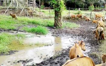 Peternakan sapi milik salah satu kelompok tani di Kapuas.