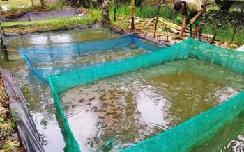 Budidaya ikan yang dikembangkan masyarakat Pulang Pisau.
