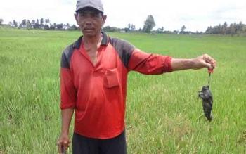 Petani di Beriut menunjukkan hama tikus yang berhasil dijebak di sawah mereka.