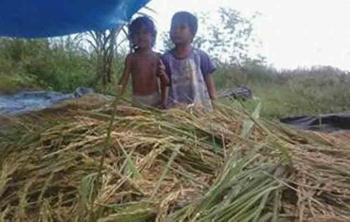 Tumpukan benih padi yang baru dipanen petani di kawasan Beriut Kuala Pembuang.