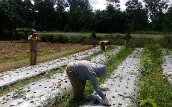 Sejumlah PPL di wilayah Kecamatan Pulau Malan Kabupaten Katingan memanen bawang merah pada salah satu demontration plot.