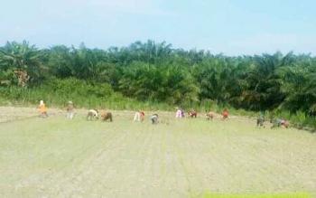 Petani Desa Bukit Sungkai, Kecamatan Balai Riam, Sukamara saat tanam padi serentak.