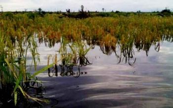 Salah satu lahan pertanian di Seruyan yang terendam banjir.