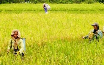Sejumlah petani padi sedang melakukan panen di lahannya. Sementara saat ini beras Pagatan masih menjadi primadona di Kota Sampit, Kotim.