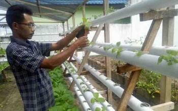 Rido menunjukkan tanaman yang dibudidayakan dengan metode hidroponik.