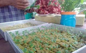 Proses penyemaian tanaman hidroponik.