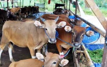 Ternak sapi warga. Aksi pencurian sapi di wilayah trans Butong, Kabupaten Barito Utara semakin marak. Jaya, warga Pandran Butong, Minggu (19/3/2017), berharap polisi menangkap para pelaku.