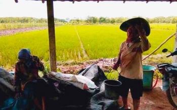 Petani padi di Kabupaten Pulang Pisau. Sementara itu Ketua KTNA Provinisi Kalimantan Tengah berharap pemerintah memperhatikan kalangan petani dan nelayan