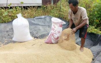Madi, petani di Desa Persil Raya saat mau menjemur padi, Selasa (21/3/2017).