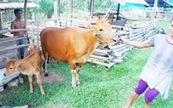 Salah satu peternak yang tergabung dalam Kelompok Tani Rindu Alam saat menarik sapi miliknya