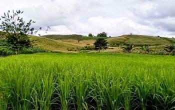 program Padi Ladang di Kabupaten Barito Utara yang dtelah digerakkan oleh masyarakat di tengah perkebunan jagung.