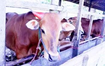 Peternakan sapi di Kobar.