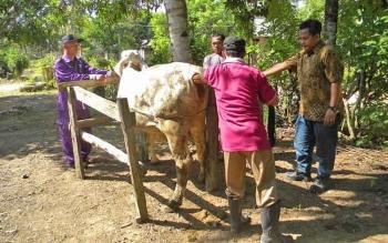 Petugas Disnakkeswan Kobar sedang melakukan inseminasi buatan pada indukan sapi.