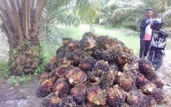 Hasil perkebunan kelapa sawit milik warga yang siap untuk dijual. Ketua Komisi I DPRD Kotim, Handoyo J Wibowo, di Sampit, Sabtu (1/4/2017), minta Pemkab Kotim sosialisasikan soal izin perkebunan.\\r\\n\\r\\nDari