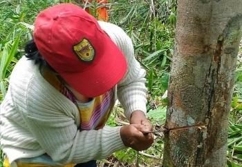Seorang petani di Gunung Mas sedang menyadap karet